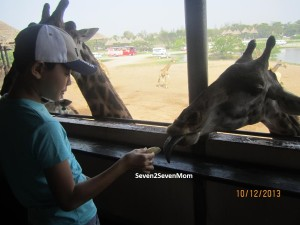 Cheeky Koko fed banana to the giraffe