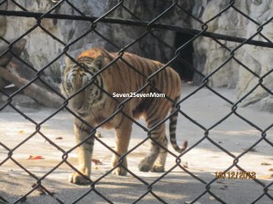 Do not mess with me, says the tiger. Yes we know, sir!